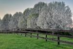Bradford Pears in Spring