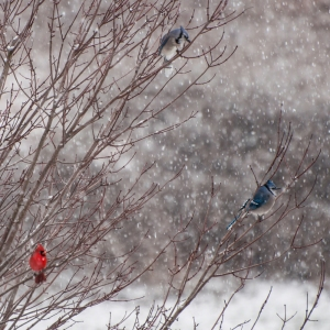 Bluejays and Cardinal