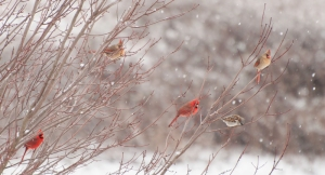 Four cardinals and a Sparrow