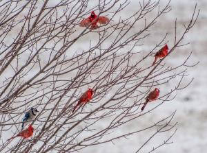 Incoming cardinal