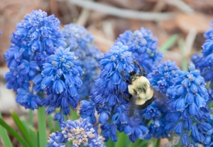 Bumblebee on Hyacinth