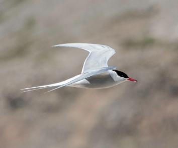 Arctic tern 4 best