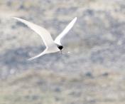 Arctic tern in pastels