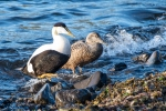 An eider couple